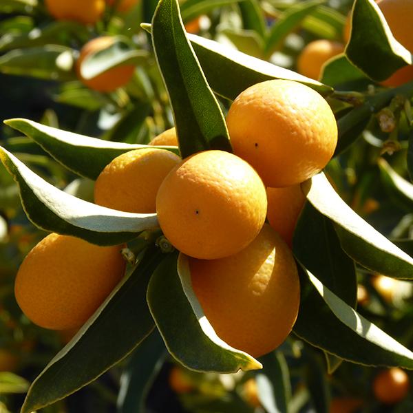 posteo3-kumquat