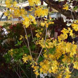 posteo6-rododendro-amarillo